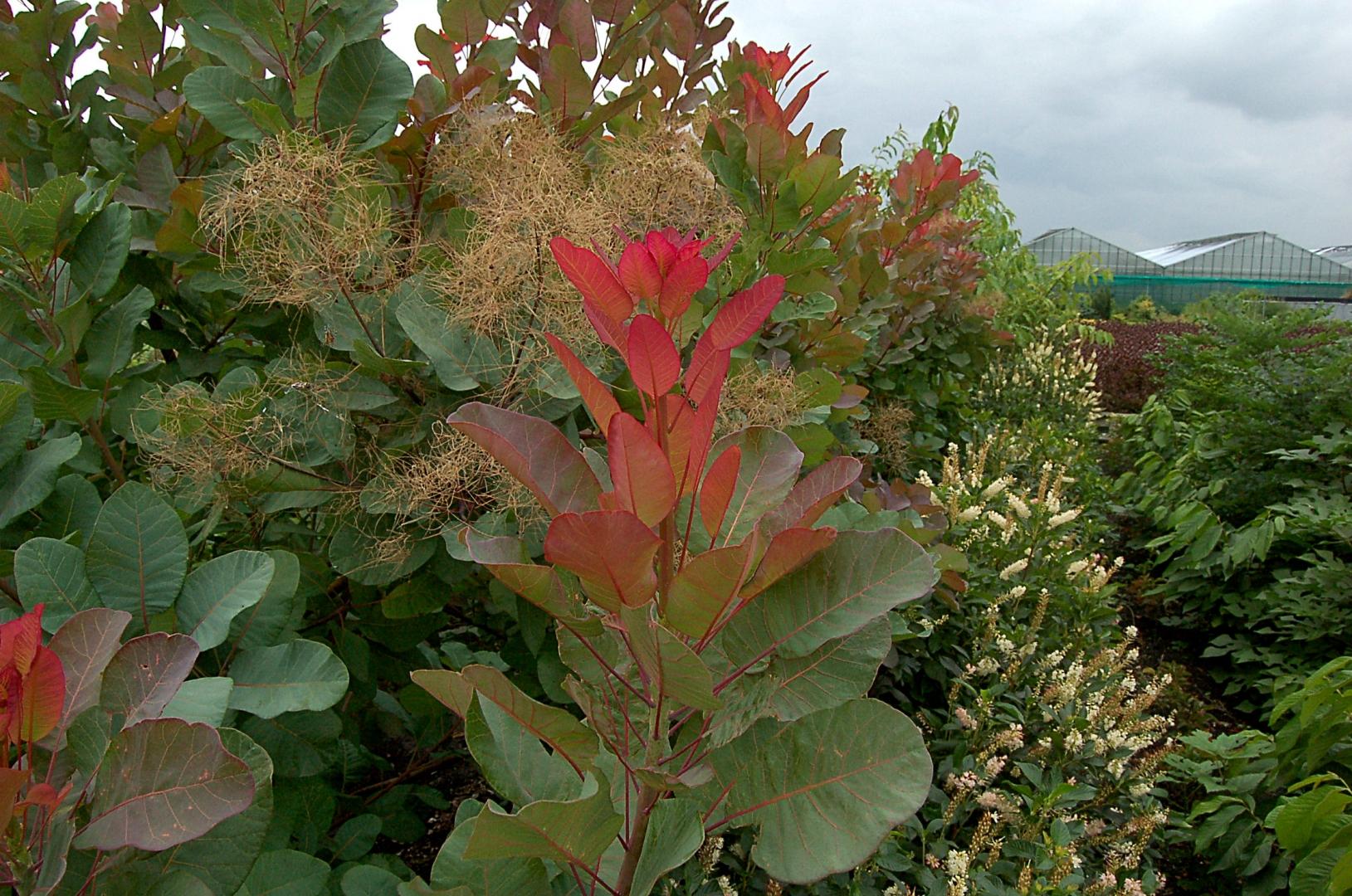 Cotinus coggygria - Genesis Plant Marketing Ltd