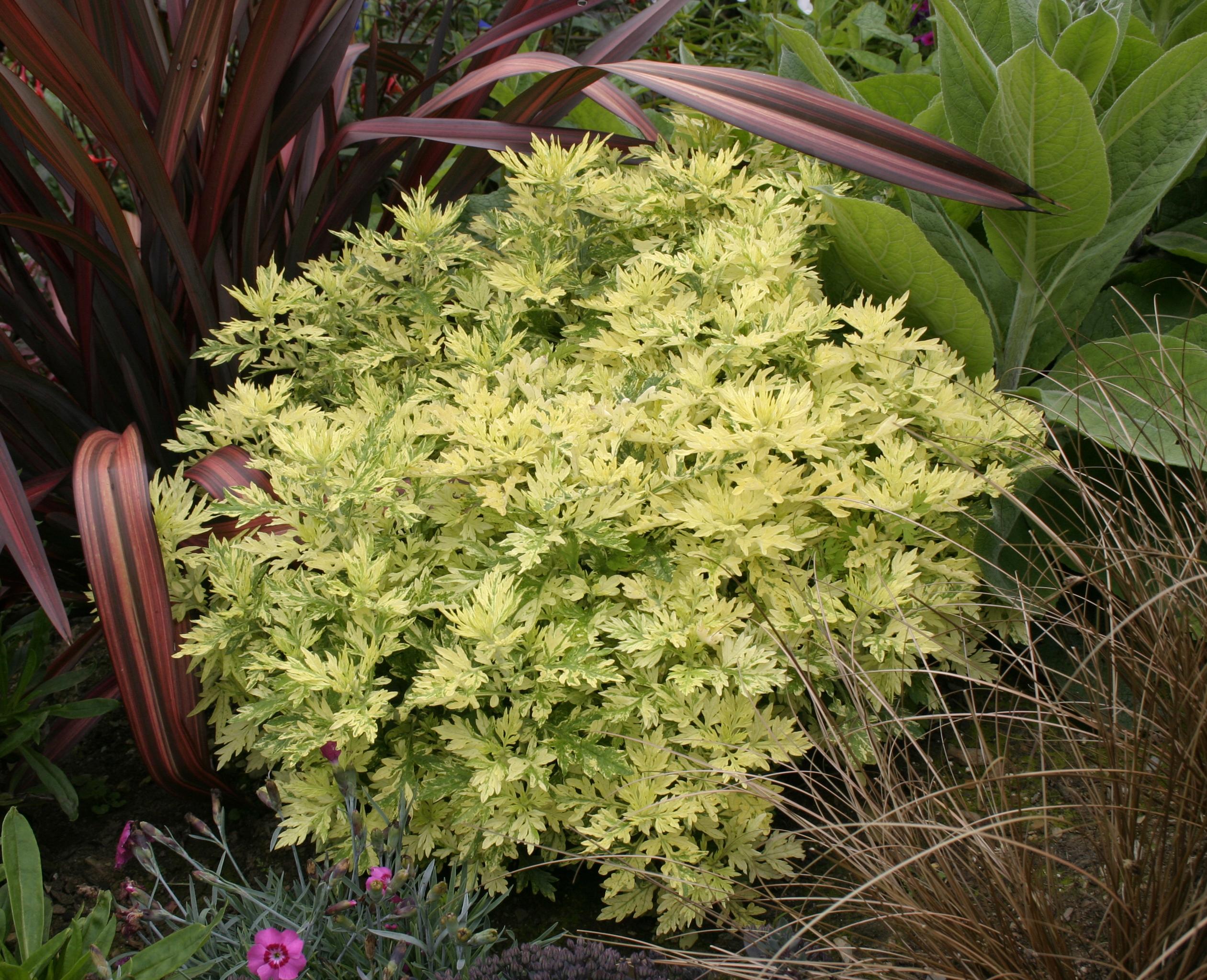 Artemisia vulgaris - Genesis Plant Marketing Ltd