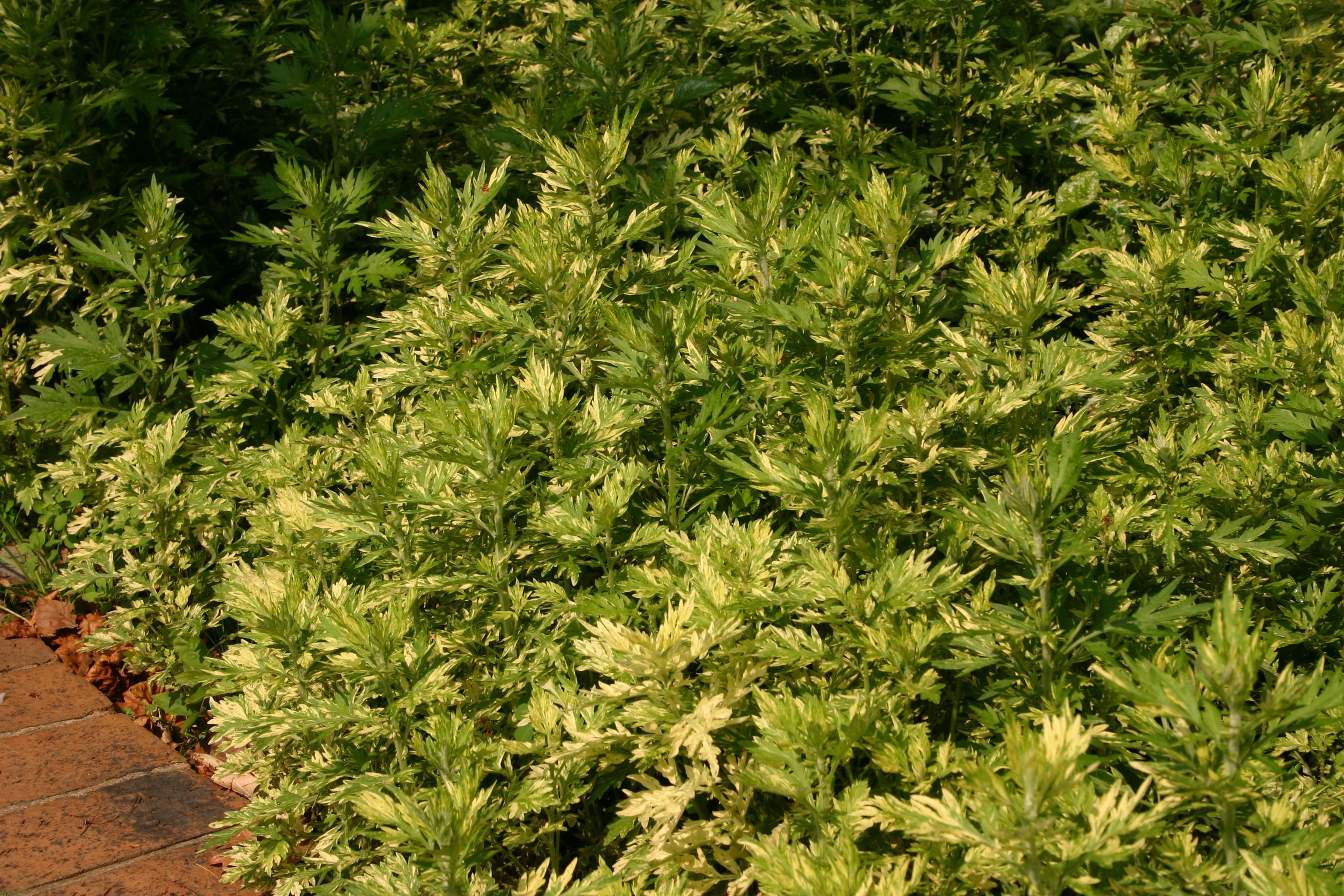 artemisia vulgaris kaufen
